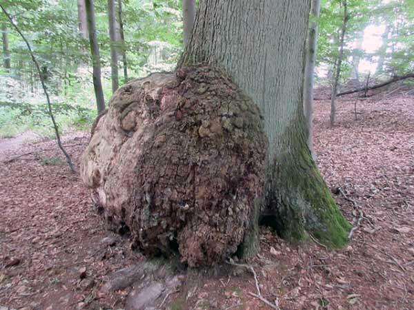 Waldlehrpfad Aabachtal: Auch Bäume haben Krebs.