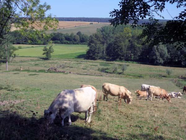 Kühe im Afte-Tal