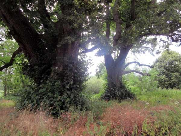 uralte Baumgruppen - Afte-Mündung