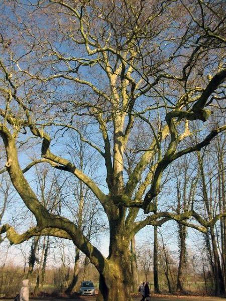 Schlosspark Markanter Riesenbaum